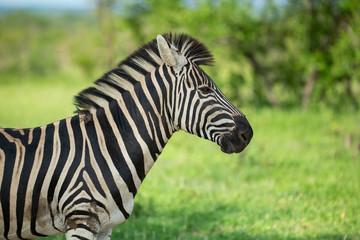 Fototapeta Zebra standing alert in the shade during a hot spell obraz
