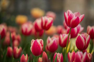 Keuken foto achterwand Tulp tulips