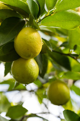 Lime, citrus on the tree branch
