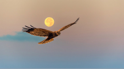 Marsh Harrier Flying at Sunrise with a Full Moon