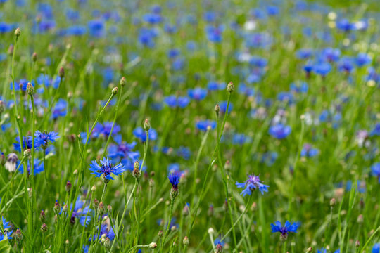 Cornflower  bloom. Blue blooming blossom. Bachelors button flower field in natural environment. Centaurea cyanus.