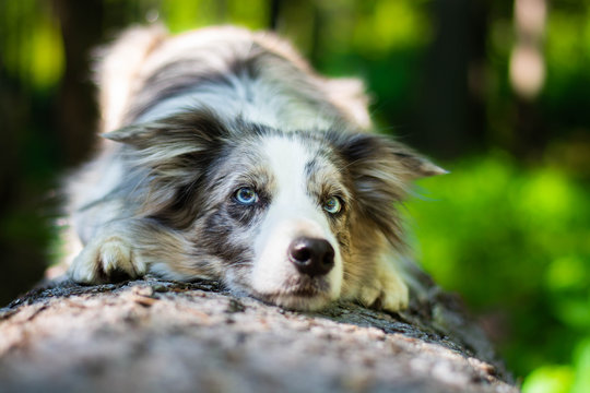 Beautiful blue merle border collie dog with blue eyes lying in the forest on the wooden bench.