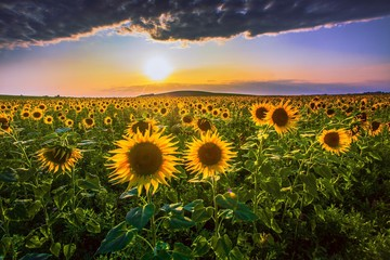 amazing summer lanscape, sunrise rural image, blooomin yellow sunflowers on the field at evening sundown sunlight, breathtaking nature floral scenery, location Provence, France, Europe