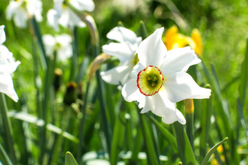 Foto op Canvas Narcis White narcissus flower close up a a