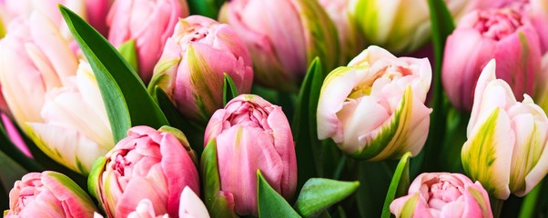 Photo sur Aluminium Tulip Fresh rosy tulips closeup