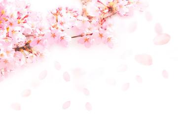 Keuken foto achterwand Kersenbloesem 桜がふわふわ舞い降りる