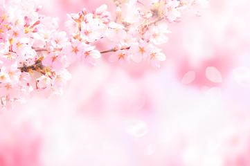 Foto op Plexiglas Kersenbloesem 桜がふわふわ舞い降りる