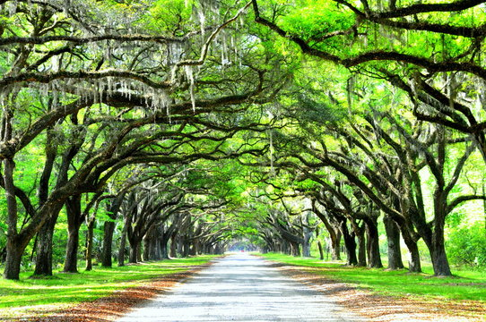A breathtaking road sheltered by live oak trees and Spanish moss near Wormsloe Historic Site, Georgia, U.S.A