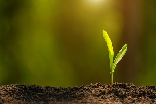 Green sprout of corn tree growing in soil with outdoor sunlight and green blur background. Agriculture, Growing or environment concept
