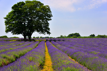 Colourful Lavender Field with Tree, in Surrey