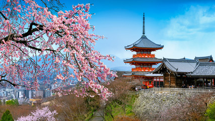 Wall Mural - Cherry blossoms and red pagoda in Kyoto, Japan.