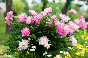 Papiers peints Jardin Paeonia officinalis. lush bush of peony flowers on a flowerbed in the garden