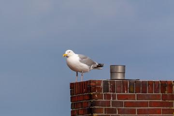 European herring gull (Larus argentatus) sitting on a roof on Juist, East Frisian Islands, Germany.