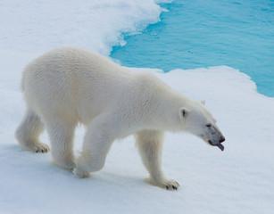 Deurstickers Ijsbeer polar bear hunting