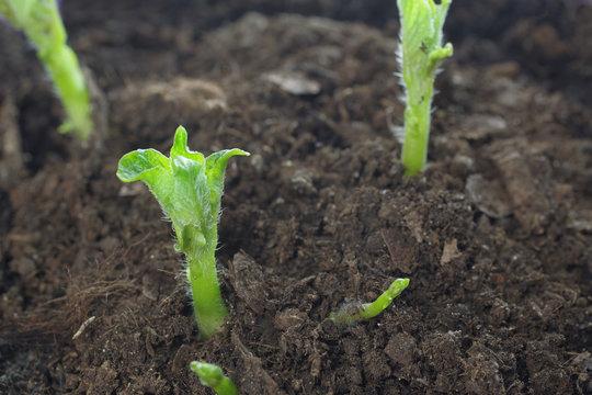 growing potato shoots