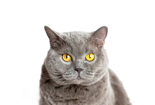 Gray british cat sits and looking at the camera on a white background.