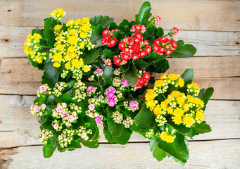 Flowers of Yellow and Red, Pink, Purple Kalanchoe on a wooden background. Close-up. Top view.