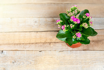 Pink Kalanchoe flowers in a pot on a wooden background