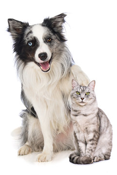 Border collie dog puts his paw on the head of a british shorthair cat isolated on white background