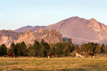 Garden Poster Natural Park A group of cows grazing at sunset with Smith Rock State Park in the background in Terrebonne
