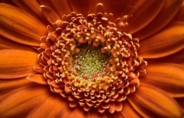 Poster Gerbera Close-up of a beautiful and orange gerbera daisy (Gerbera jamesonii). Centered and top view macro photograph of the flower head and petals