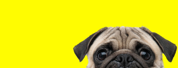 Poster Chien pug dog with gray fur exposing only half of head