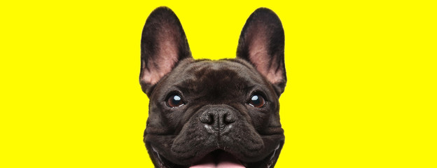 Autocollant pour porte Bouledogue français french bulldog dog looking at camera with joy