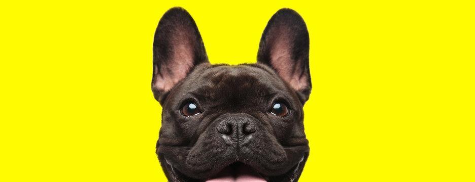 french bulldog dog looking at camera with joy