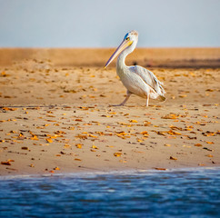 Türaufkleber Sansibar White pelican (Pelecanus rufescens) is going on the beach in the sea Somone lagoon in Africa, Senegal. It is a wildlife photo of bird in wild nature.