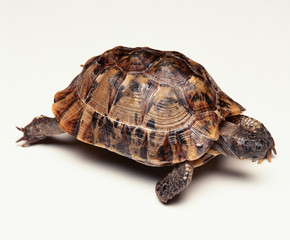 turtle, tortoise, animal, reptile, shell, isolated, pet, white, slow, nature, wildlife, cute, amphibian, pets