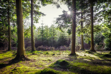 Ladock woods backlit with the sun cornwall uk