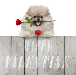 cute smiling pomeranian spitz puppy dog with red heart and rose, and text happy valentine, hanging with paws on wooden fence, isolated on white background