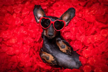 Foto auf AluDibond Crazy dog valentines wedding dog in love