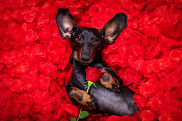 Fotorolgordijn Crazy dog valentines wedding dog in love