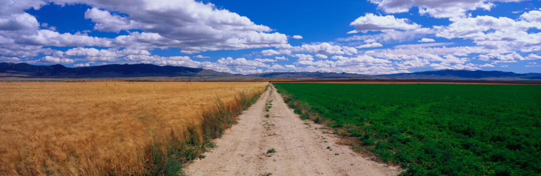 This is a dirt road dividing a wheat field and an alfalfa field. It is under a blue sky.