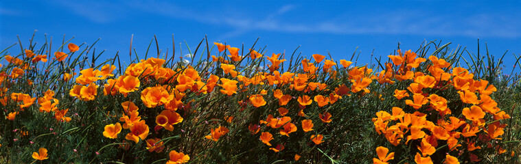 Poster Poppy These are California poppies under a blue sky in spring.