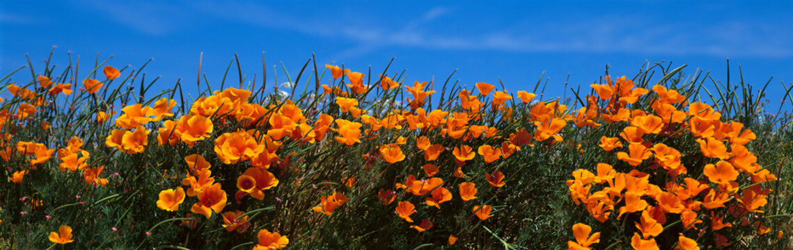 These are California poppies under a blue sky in spring.