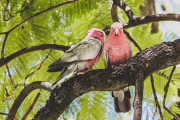 native Australian pink galah birds up a jacaranda tree