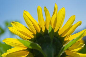 Foto op Canvas Meloen Sunflower field on blue sky background