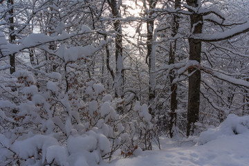 Winter in the forest in the Ukrainian Carpathian Mountains