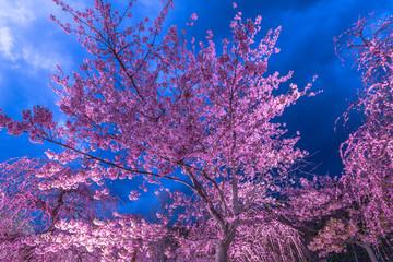 Photo sur Plexiglas Prune 夜に咲く妖艶なしだれ梅は如何でしょうか?