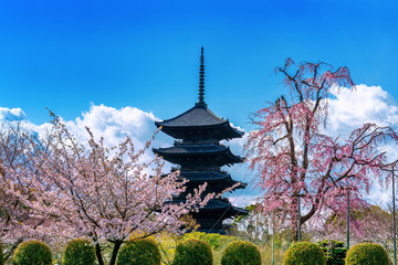 Wall Mural - Cherry blossoms and pagoda in spring, Kyoto in Japan.