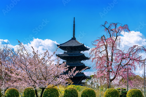 Wall mural Cherry blossoms and pagoda in spring, Kyoto in Japan.