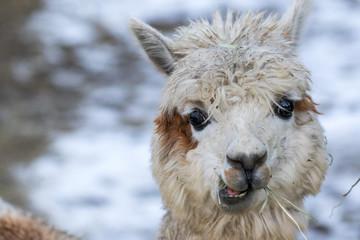 Foto auf AluDibond Lama Portrait of a cute alpaca. Beautiful llama farm animal at petting zoo.