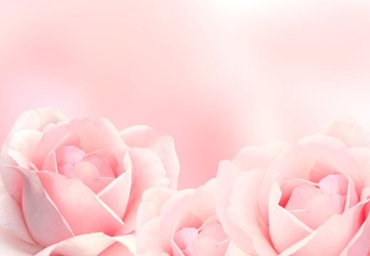 Blurred background with three pink roses