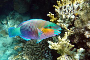 Parrot fish (Scarus frenatus), close up in Red sea