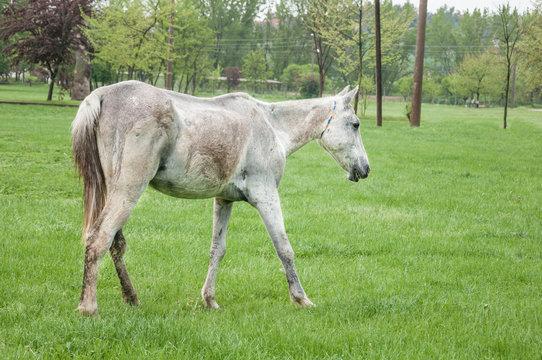 a scrawny white horse walking on meadow