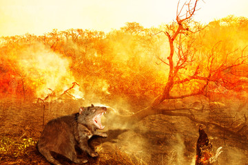 Poster Jaune de seuffre Australian wildlife in bushfire of Tasmania. Tasmanian devil with fire and smoke on the background. Conceptual: global warming, natural disaster, climate change.