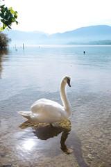 In de dag Zwaan swan on a mountain lake Traunsee