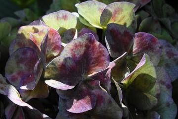 Fotografía macro de pétalos de flores de hortensia en color púrpura y verde con manchas rojas, iluminados por el sol. Fondo de naturaleza. Hydrangea Macrophylla.